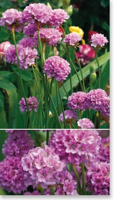 "Plants Management Australia Pty Ltd. Armeria ""Bees Lilac"". Great little plant to 30cm. Ideal for gravel gardens, containers and edging plants."