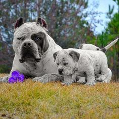 Pitbull Terrier Love these 2 Amstaff Terrier, Pitbull Terrier, Cute Puppies, Cute Dogs, Dogs And Puppies, Doggies, Big Dogs, I Love Dogs, Giant Dogs