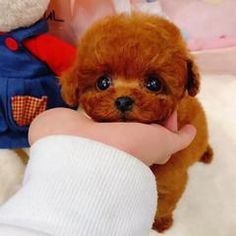 Your Shopping Cart – thebigblackfriday Cute Baby Dogs, Cute Baby Animals, Cute Puppies, Dogs And Puppies, Toy Puppies, Doggies, Yorkie Dogs, Pet Puppy, Teddy Bear Dog