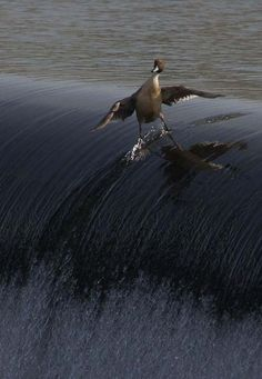 Surfing wing style