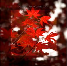 SALE 15% OFF Coupon code: SALE15OFF  Red Autumn leaves Fine Art Photography by PhotosbyJerryCowart, $37.50