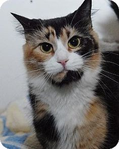 Jaffrey, NH - Domestic Shorthair. Meet Snooki, a cat for adoption. http://www.adoptapet.com/pet/11835873-jaffrey-new-hampshire-cat