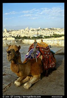 Camel with town skyline in the background. Jerusalem, Israel One of the most interesting things I have had a chance to do...