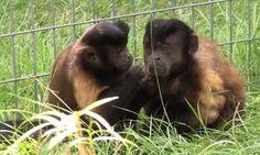 Rescued monkeys fall in love.
