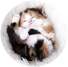 Tiny Calico Snuggle Ball