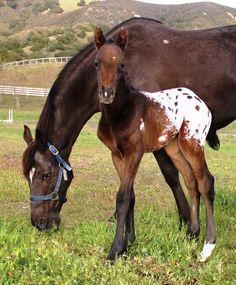 Appaloosa colt, Hunter horses!