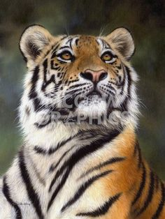 Amur Tiger Painting Print By Rachel Stribbling. Beautiful Cats, Animals Beautiful, Chat Lion, Animals And Pets, Cute Animals, Wild Animals, Baby Animals, Big Cat Family, Gato Grande