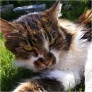 Changes in thyroid pathology in hyperthyroid cats with disease duration