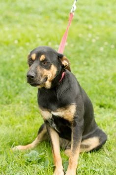 URGENT- REESE CUP IS IN A GASSING SHELTER IN BECKLEY WEST VIRGINIA. PLEASE EMAIL NICOLE AT SHELTER RCPETS13@YAHOO.COM FOR DOGGY DETAILS AND APPLICATION.TRANSPORT IS AVAILABLE FOR ALL APPROVED OUT OF STATE ADOPTIONS. THIS SHELTER WILL EUTHANIZE FOR...