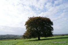 Our Copper Beech in the South Meadow, Uppark House and Garden, West Sussex