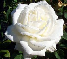 What a beautiful white rose!