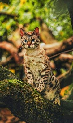Cute Cats And Kittens, I Love Cats, Kittens Cutest, Kitty Cats, Most Beautiful Animals, Beautiful Cats, Animals And Pets, Cute Animals, Wild Animals