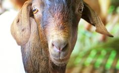 Animals Australia's first investigation in Malaysia has uncovered yet again that live export rules are being broken in a major export market. This time, goats are the victims of this cruel trade. Make your voice heard to help put an end to their suffering.