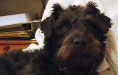 Patterdale terrier!