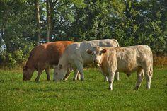 3 cattle grazing