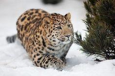 Исчезающий вид — Дальневосточный леопард.