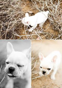 Gatsby the French Bulldog by Jen Huang