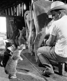 Cats get fresh milk from udder squeeze.