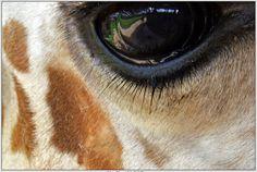 giraffe eye - Google Search