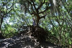 Here many old liveoaks stand tall or topple over, with their roots exposed in the eroded landscape.