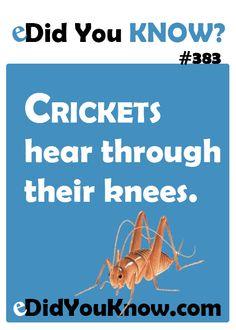 Crickets hear through their knees. http://edidyouknow.com/did-you-know-383/
