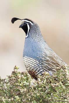 California Quail, Callipepla californica, male