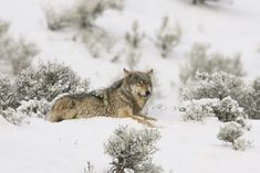 The death of Spitfire, a beloved female wolf at the edge of Yellowstone Park's boundaries has wildlife officials rethinking wolf-human interactions. Yellowstone Wolves, Yellowstone Park, Animal Rescue, Wolf Love, Bad Wolf, Beautiful Wolves, Animals Beautiful, Wildlife Photography, Forests