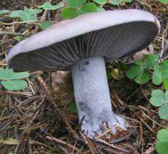 Čirůvka fialová Stuffed Mushrooms, Bird, Outdoor Decor, Arrows, Fungi, Mushroom, Mushrooms, Stuff Mushrooms, Birds