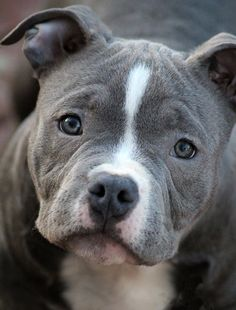 Bully Health - Caring for your American Bully Puppies