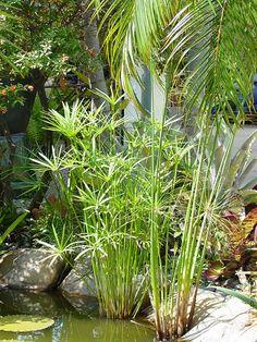 Water Garden Plants, Pond Plants, Bamboo Plants, Aquatic Plants, Succulents Garden, Water Plants For Ponds, Water Gardens, Tropical Garden Design, Tropical Landscaping