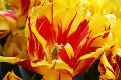 double tulip monsella