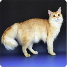 Somali Cat - Cat Breeds - Purina Australia - beautiful in red