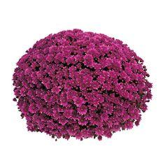 Frilandskrysantemum Diameter 19 cm Lilla | Plantasjen Raspberry, Fruit, Vegetables, Pretty, Red, Autumn, Lilac, Fall, The Fruit