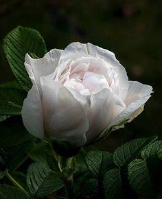 ~Rosa 'Souvenir de Philémon Cochet', 1899