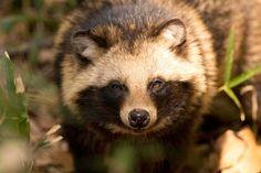 Tanuki - japanese raccoon dog