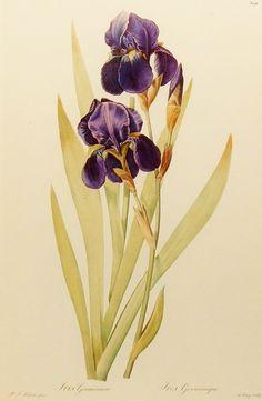 Plum Iris Art, Botanical Print (River House Decor, Redoute Flower) No. 55