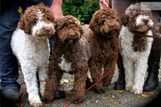 Lagotto Romagnolo at Ducketts Truffle training (cavage) has begun.