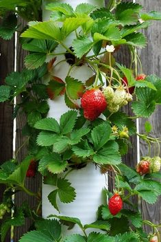 PVC Pipe Strawberry Planter - cut to length, drill holes, fill with dirt, plant sprout in each hole water from top and allow to trickle.