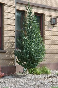 "<b>Dakota Pinnacle Birch Betula platyphylla ""Dakota Pinnacle</b>"""