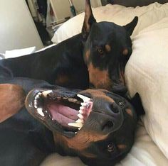 The Doberman Pinscher is among the most popular breed of dogs in the world. Known for its intelligence and loyalty, the Pinscher is both a police- favorite Perro Doberman Pinscher, Doberman Dogs, Dobermans, Rottweiler, I Love Dogs, Cute Dogs, American Staffordshire Terrier, Black And Tan Terrier, Animals And Pets