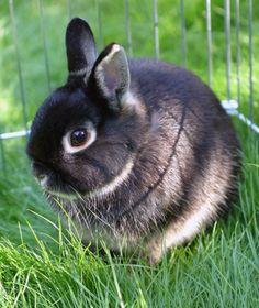 Netherland Dwarf Rabbit   10 Popular Pet Rabbit Breeds   PawNation