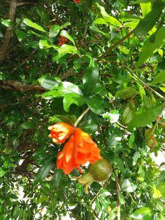 Flor e fruto de romã (Patio da Tribal)