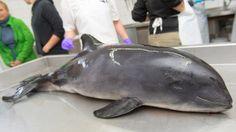 Umweltminister Habeck und Fischereiverbände unterzeichnen Vereinbarung zum Schutz der Schweinswale. Laut Nabu ein