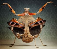 A Deroplatys Lobata (Dead Leaf Mantis) - one of the amazing reptiles and amphibians photographed by Igor Siwanowicz.