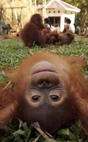 I have such a soft spot for primates ---- Orangutan in Borneo, Malaysia Primates, Cute Creatures, Beautiful Creatures, Animals Beautiful, Beautiful Babies, Cute Baby Animals, Animals And Pets, Funny Animals, Wild Animals
