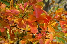 Sassafras bears delightful fall foliage. Learn about other great fall-foliage specimens at http://landscaping.about.com/od/fallfoliagetrees/