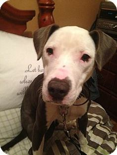 Ridgewood, NY - American Pit Bull Terrier Mix. Meet Slim a Puppy for Adoption.