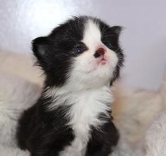 Kittens is an adoptable Domestic Medium Hair-Black And White Cat in Farmington Hills, MI. Kittens, FM, White/Black, DMH, Dob: 4/15/2013 Four black and white kittens with medium-length fur just arrived...