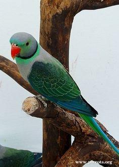 Malabar Parakeet   World Parrot Trust - Such a beautiful bird.
