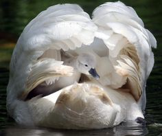 """""""There are two lasting bequests we can give our children. One is roots. The other is wings."""" — Hodding Carter, Jr. [Trumpeter Swan. Pinned by PartyTalent.com]"""